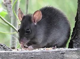 control de plagas de ratas badalona