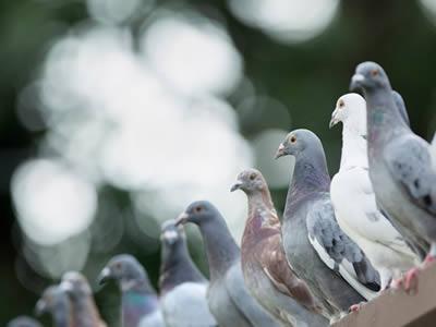 Control de plagas de Aves en Mataro y Maresme