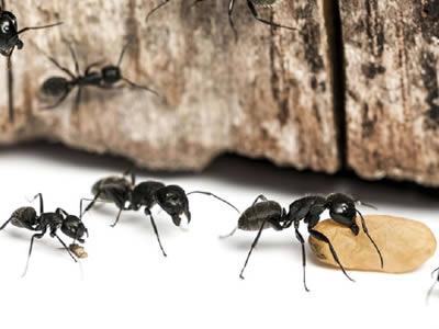 Control de plagas hormigas en girona
