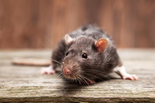 Exterminador de ratas en Mataro y Maresme